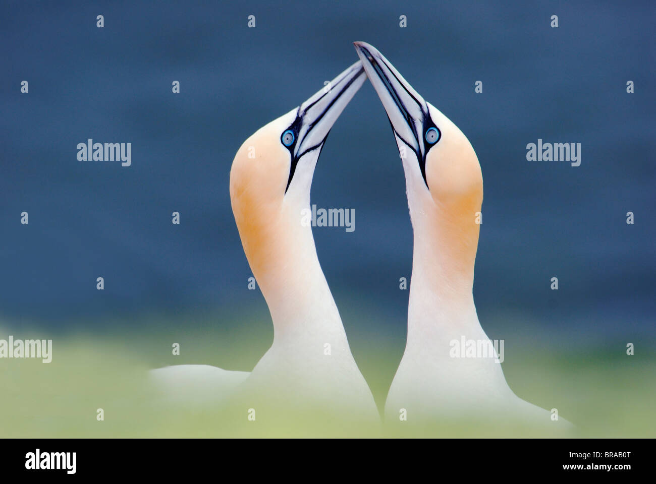 Northern gannet (Sula / Morus bassana) pair courtship, Heligoland, Germany Stock Photo