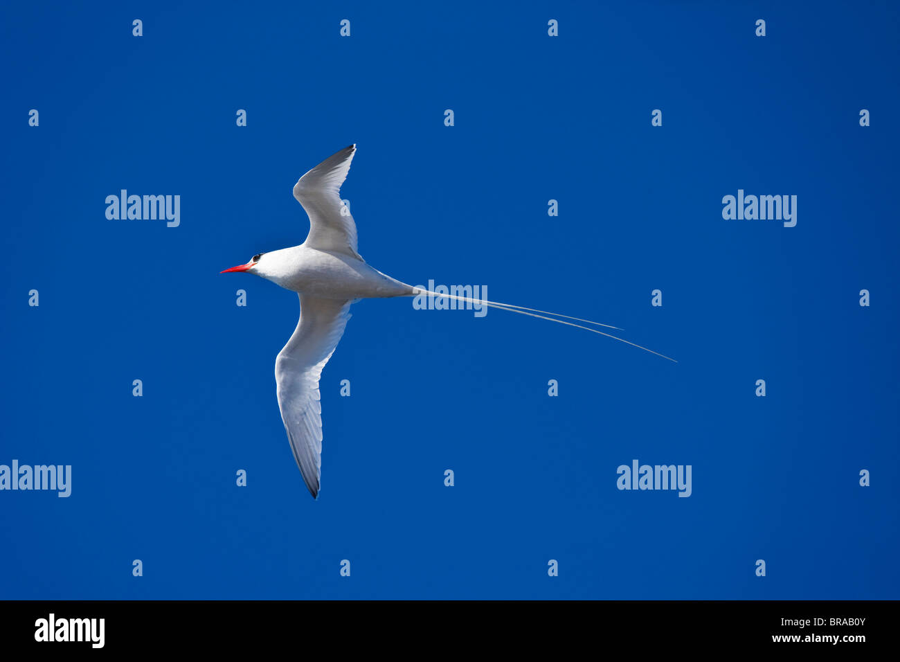 Red billed tropicbird {Phaethon aethereus} in flight, Plaza Island, Galapagos, January - Stock Image