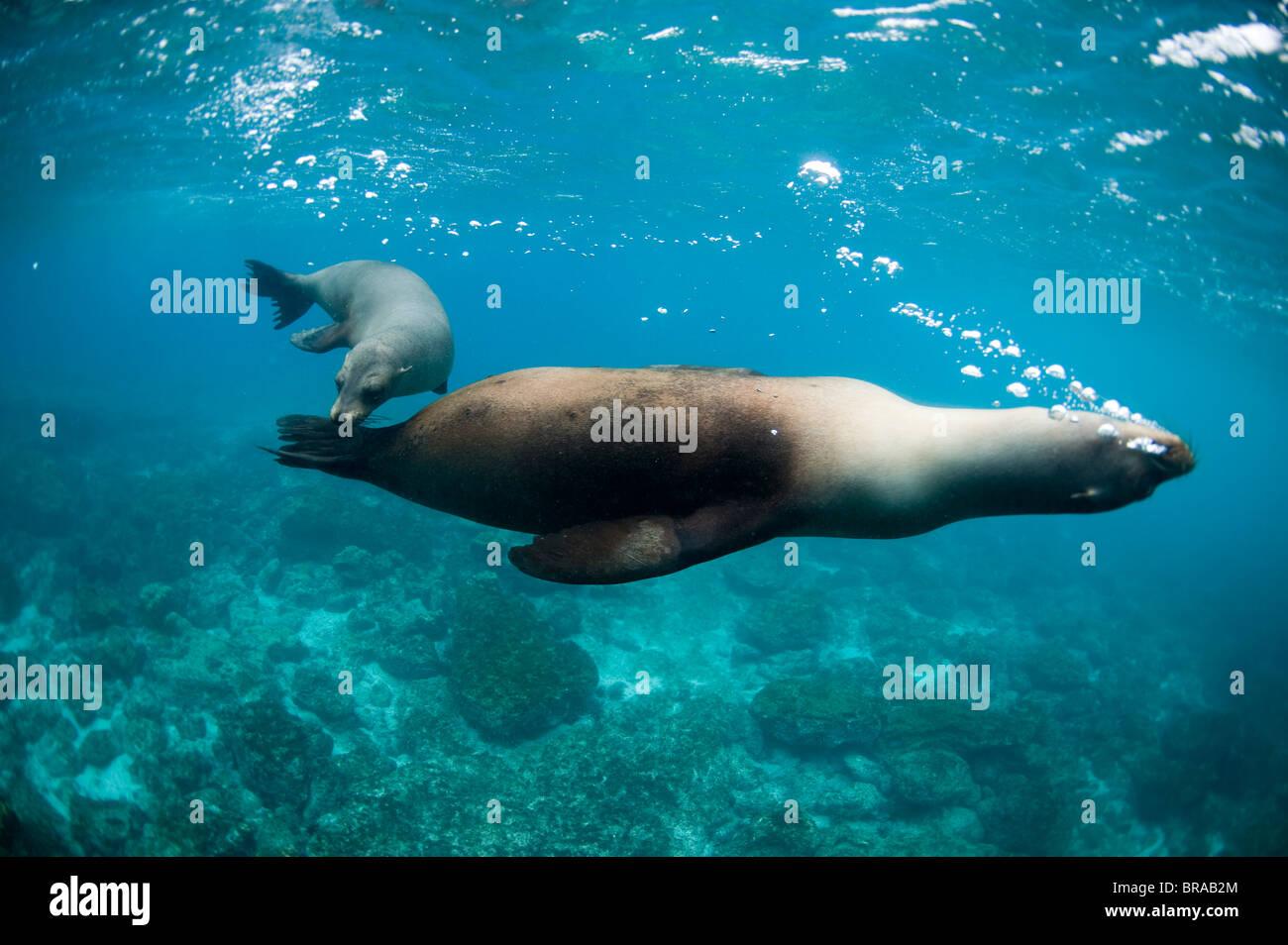 Two sea lions off Floreana Island, Galapagos, Ecuador, South America - Stock Image