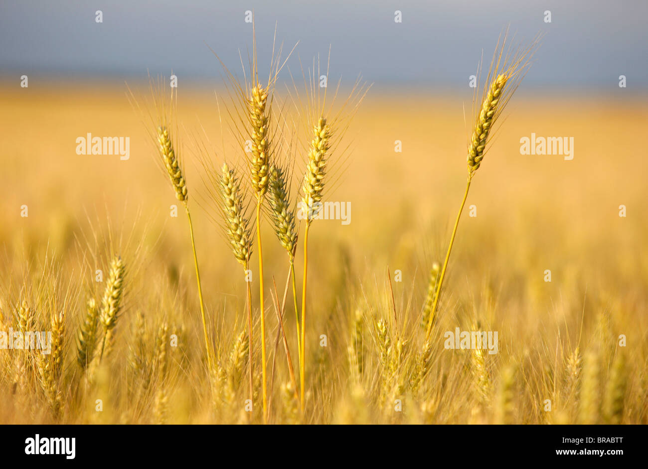Wheat field, Eure, France, Europe - Stock Image