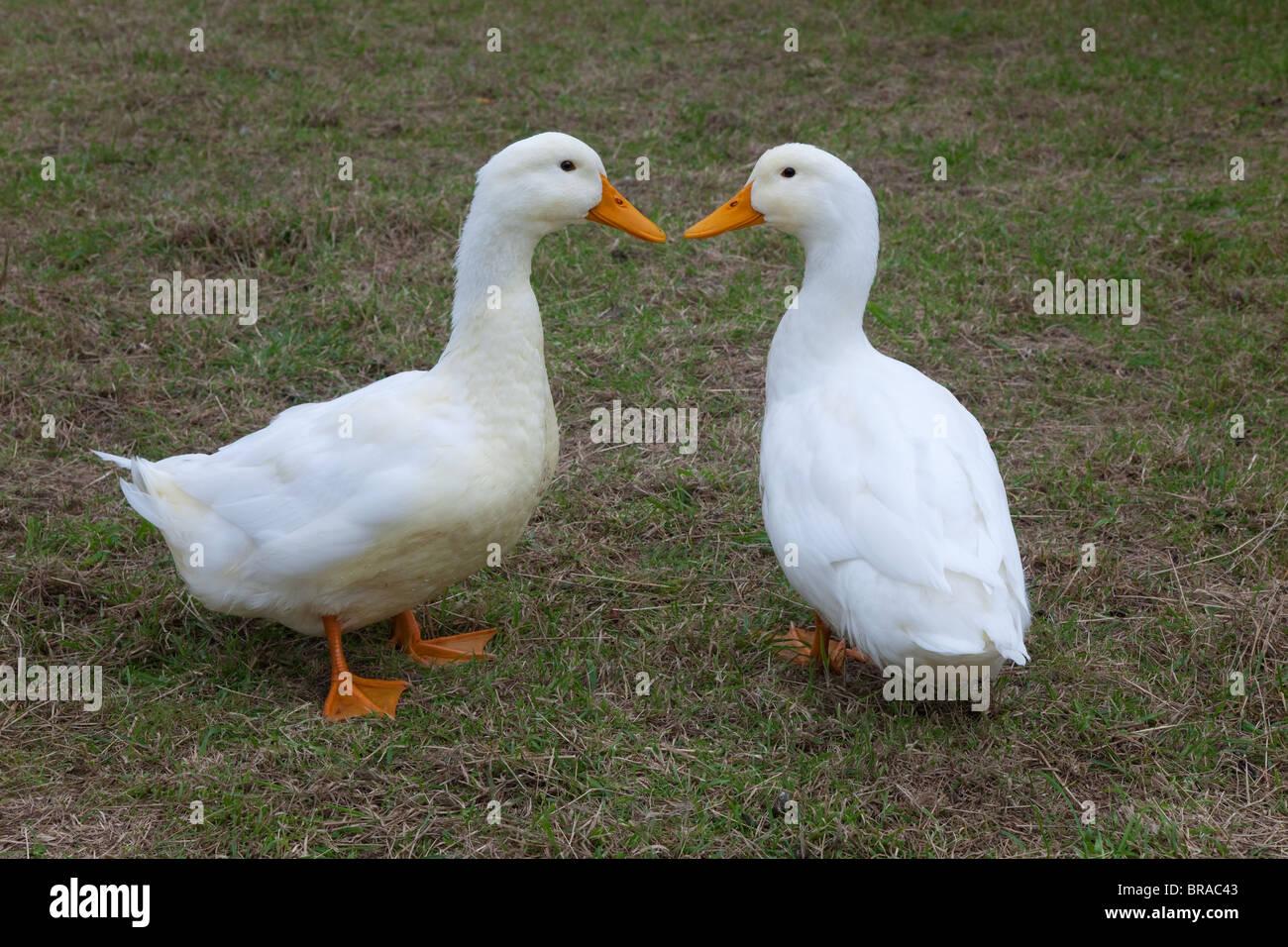 Pair of Aylesbury Ducks on smallholding - Stock Image