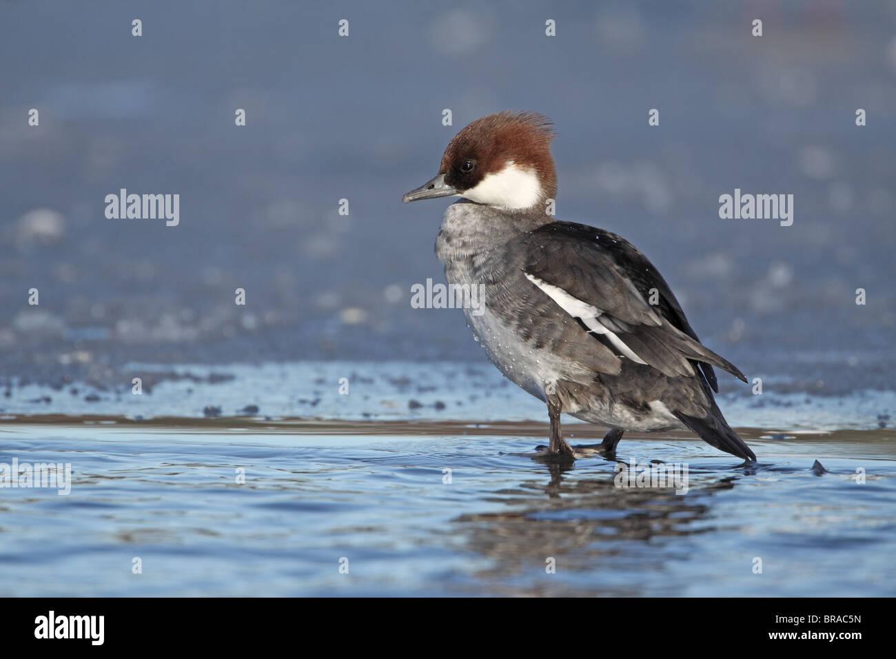 Smew, Mergus albellus, duck on ice - Stock Image