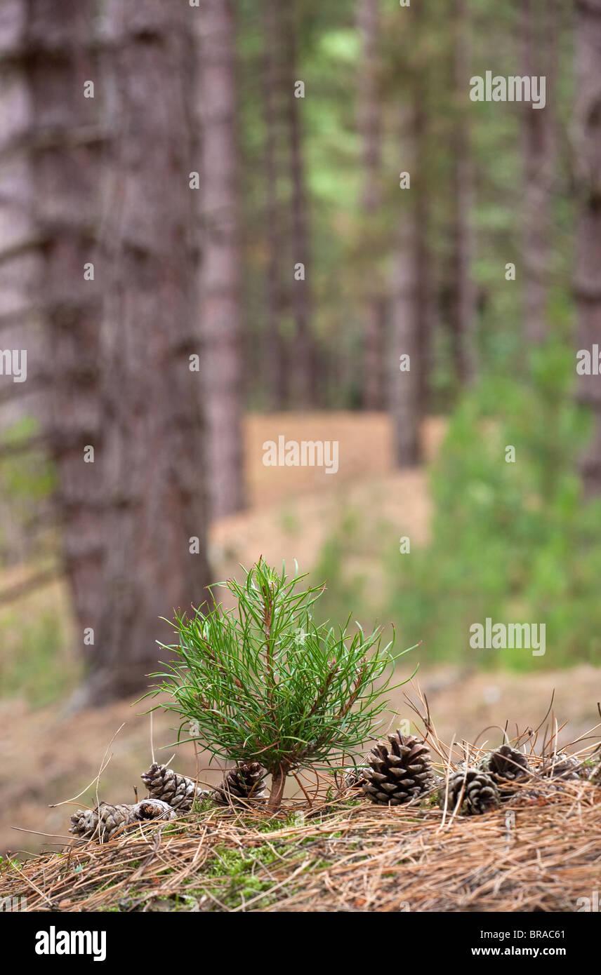 Corsican Pine seedling Pinus nigra var.maritima in mature forest - Stock Image