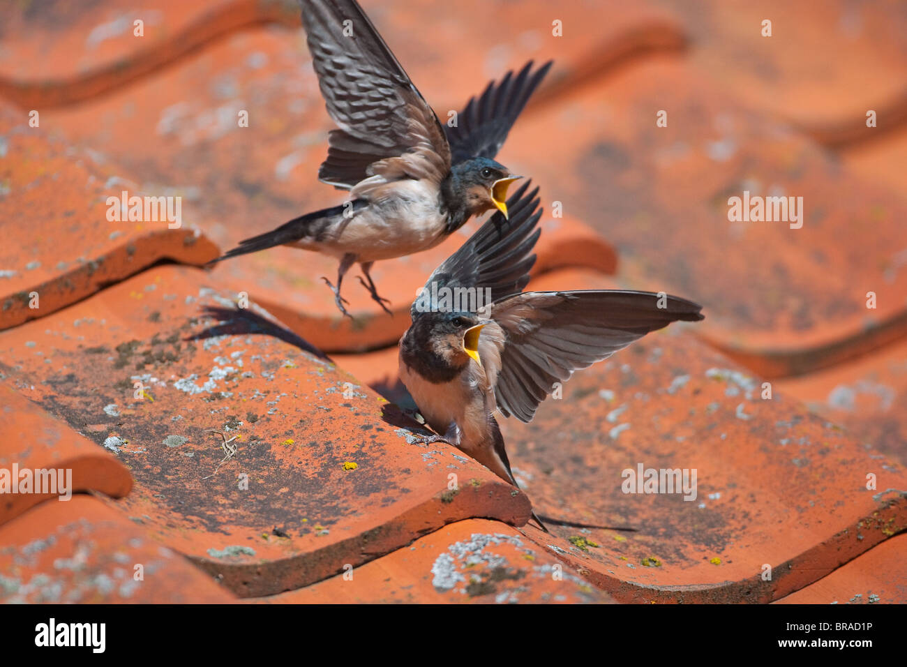 Swallow Hirundo rustica Young on barn roof - Stock Image