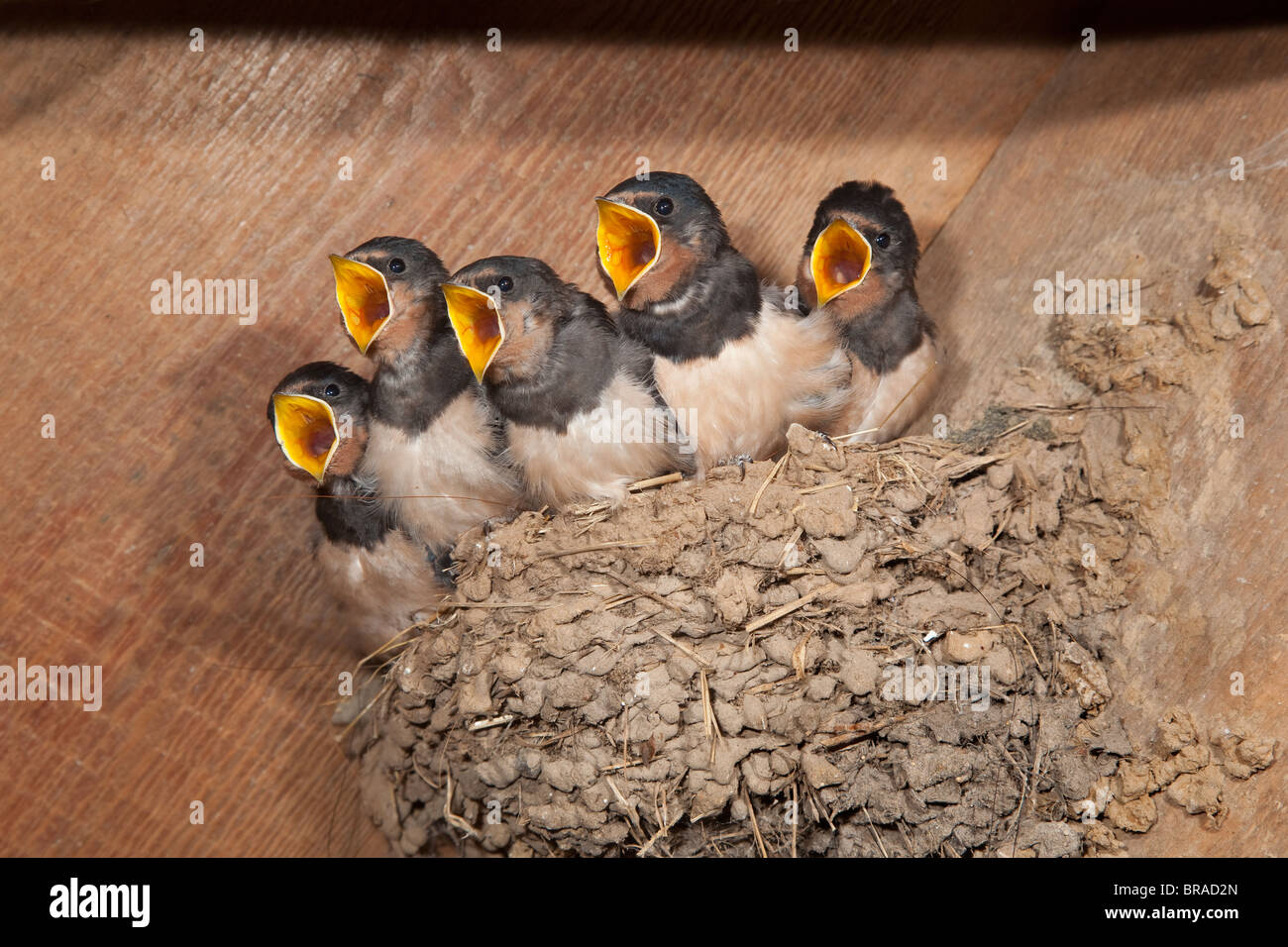 Swallow Hirundo rustica Young in nest at about 14 days old - Stock Image