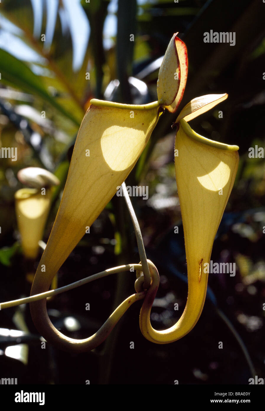 Madagascar pitcher plant, a carnivorous plant that produces impressive pitchers that catch the insect prey, Madagascar - Stock Image