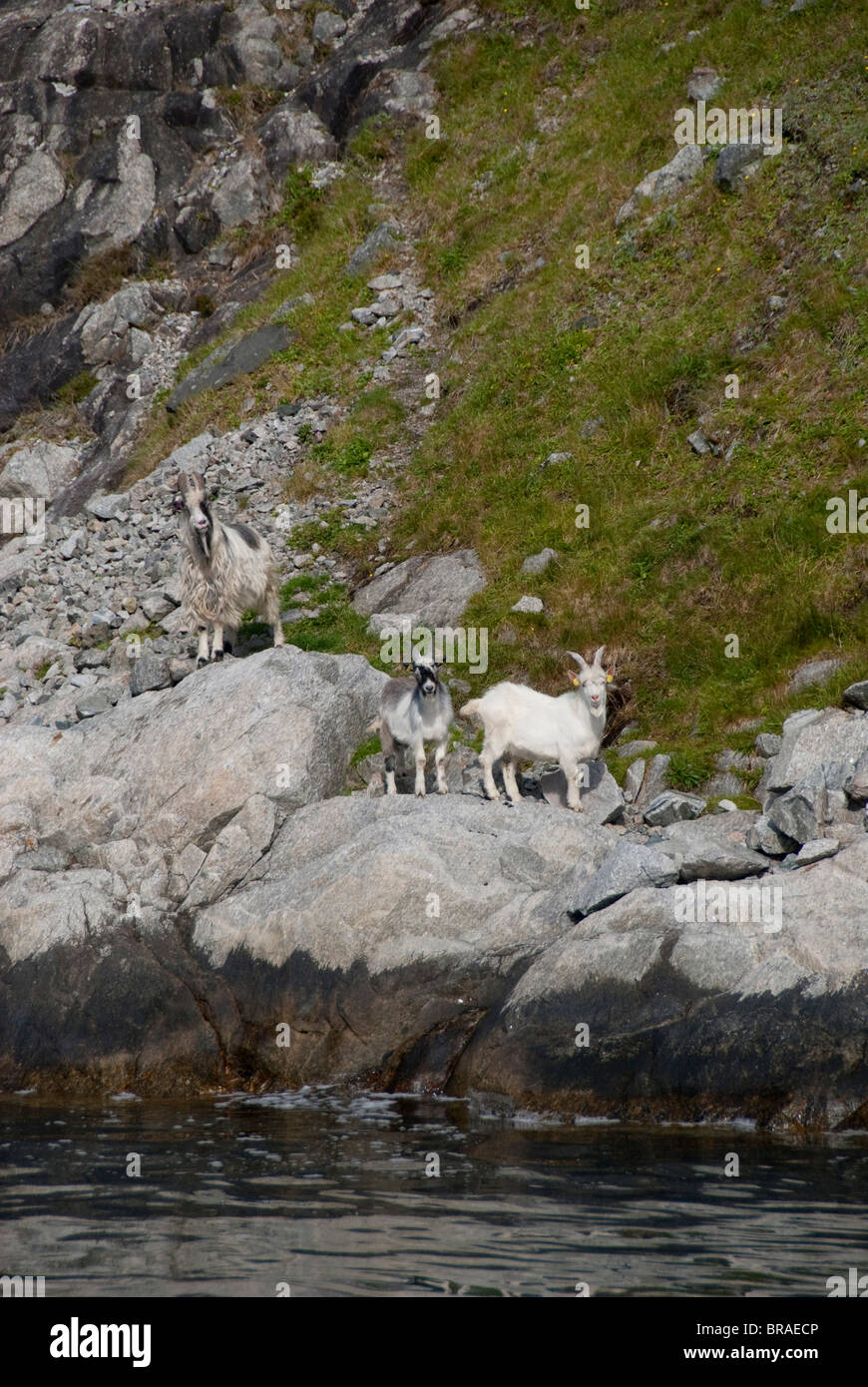 Norway, Stavanger, Lysefjord (aka Lyse Fjord). Domesticated goats along the water's edge of the fjord. - Stock Image