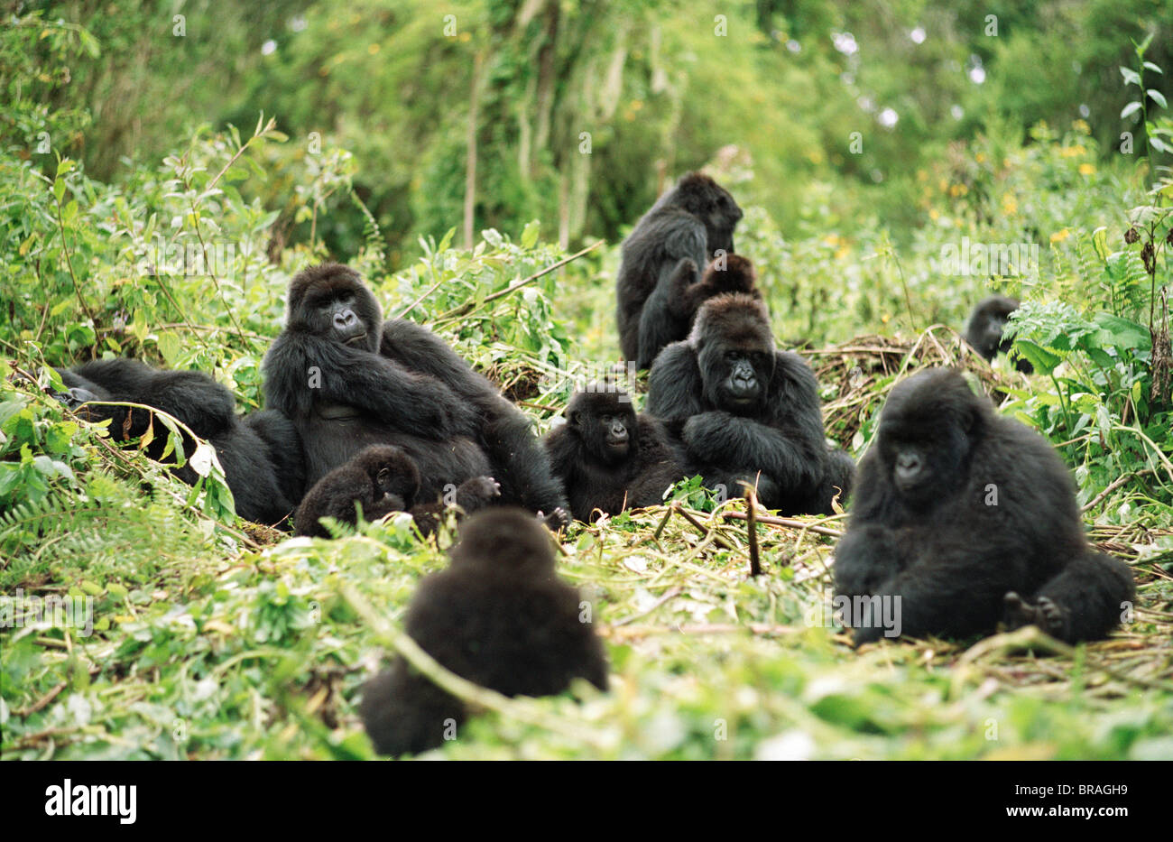 Mountain Gorillas (Gorilla gorilla beringei), silverback male resting with group, Virunga Volcanoes, Rwanda, Africa - Stock Image