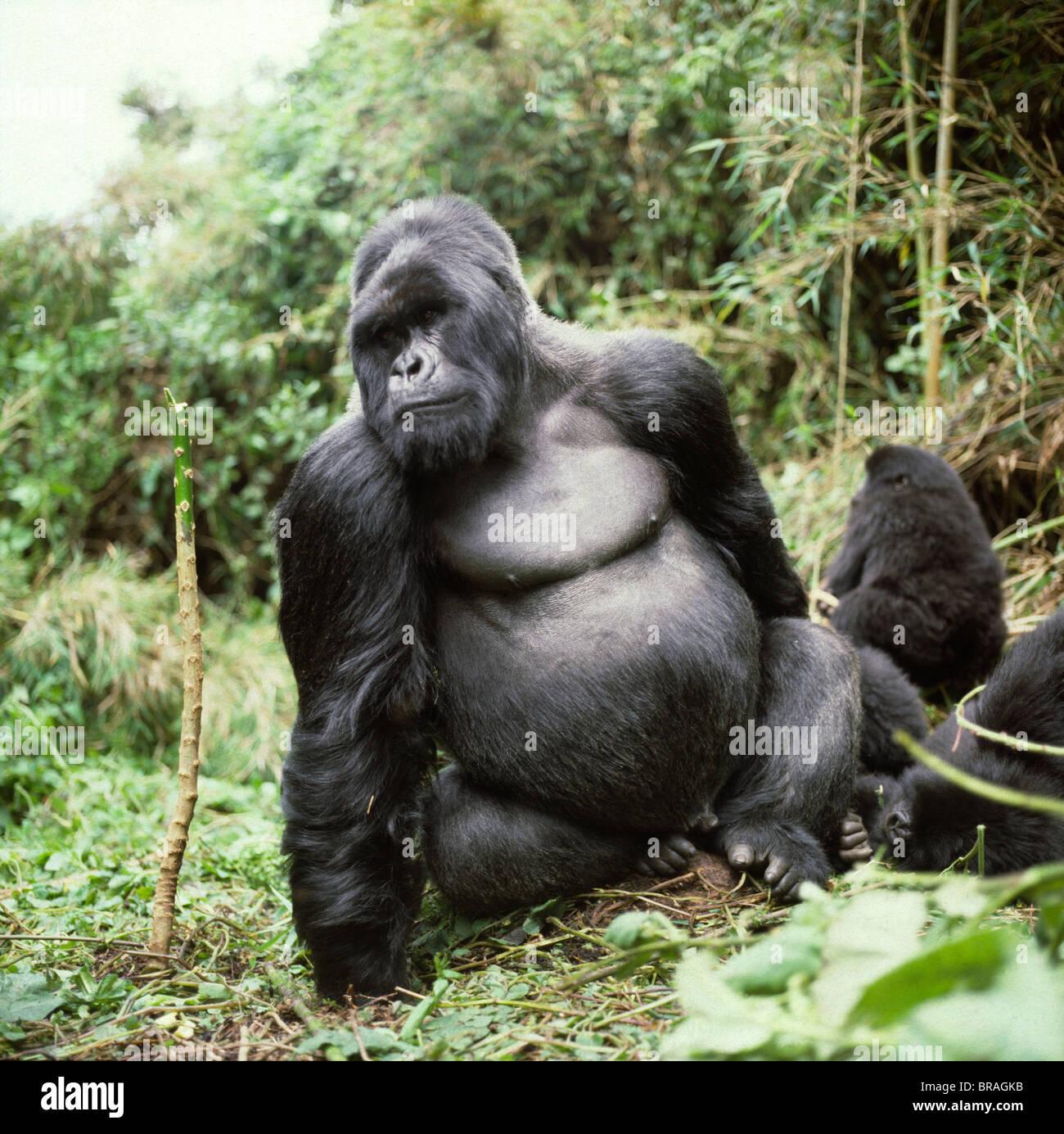 Silverback male Mountain Gorilla (Gorilla g. beringei), Virunga Volcanoes, Rwanda, Africa - Stock Image