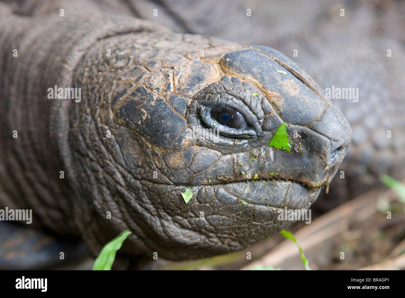 Head of Seychelles giant tortoise at the Jardin du Roi spice garden near Anse Royale, Island of Mahe, Seychelles Stock Photo