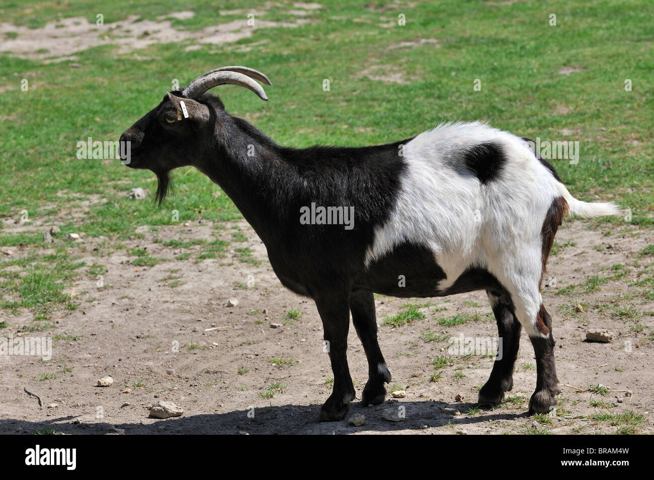 Black and white Pygmy goat (Capra hircus domestica) native to West Africa - Stock Image