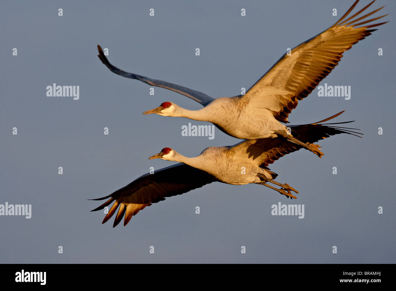 Two Sandhill Cranes in flight in late afternoon light, Bosque Del Apache National Wildlife Refuge, New Mexico, USA - Stock Image