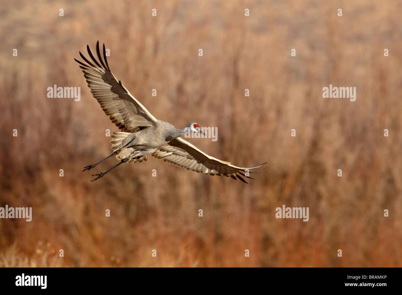 Sandhill Crane (Grus canadensis) just about to land, Bernardo Wildlife Area, Ladd S. Gordon Wildlife Complex, New - Stock Image