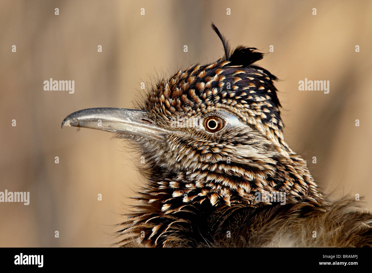 Greater Roadrunner (Geococcyx californianus), Bosque Del Apache National Wildlife Refuge, New Mexico, United States - Stock Image
