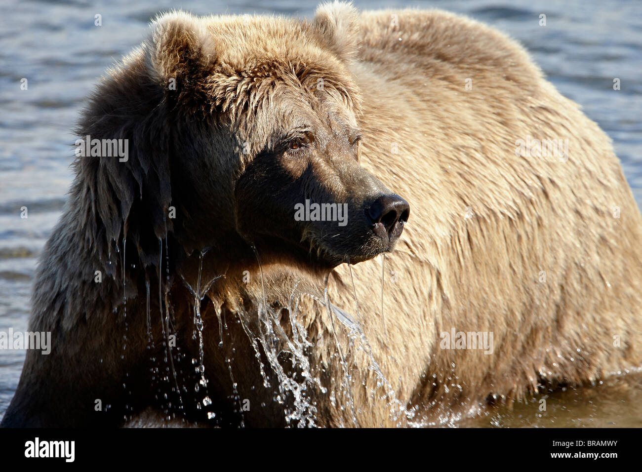 Brown Bear (Ursus arctos horribilis) in Moraine Creek, Katmai National Park and Preserve, Alaska, United States - Stock Image