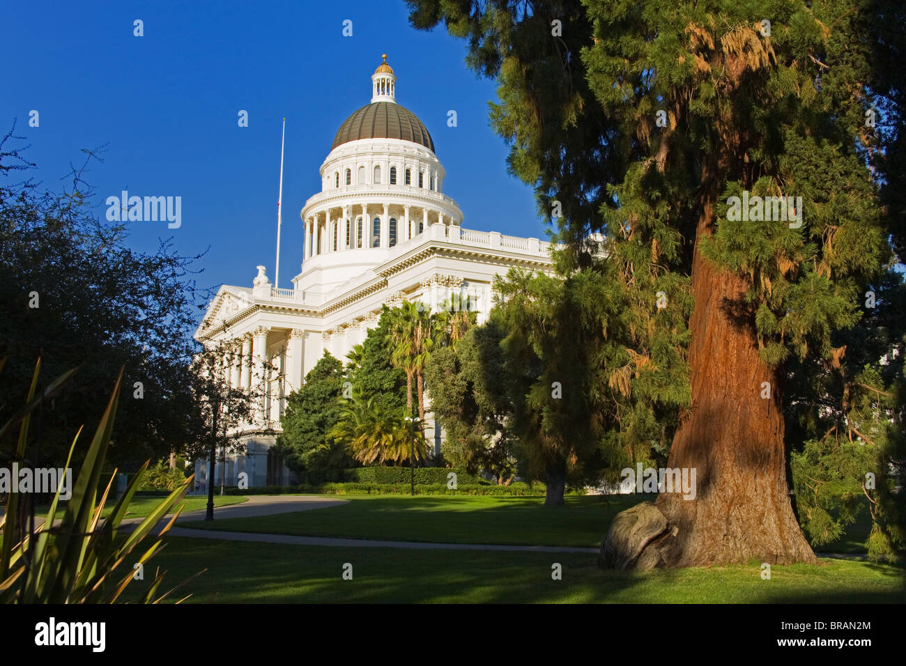 Redwood tree and the State Capitol Building, Sacramento, California, United States of America, North America - Stock Image