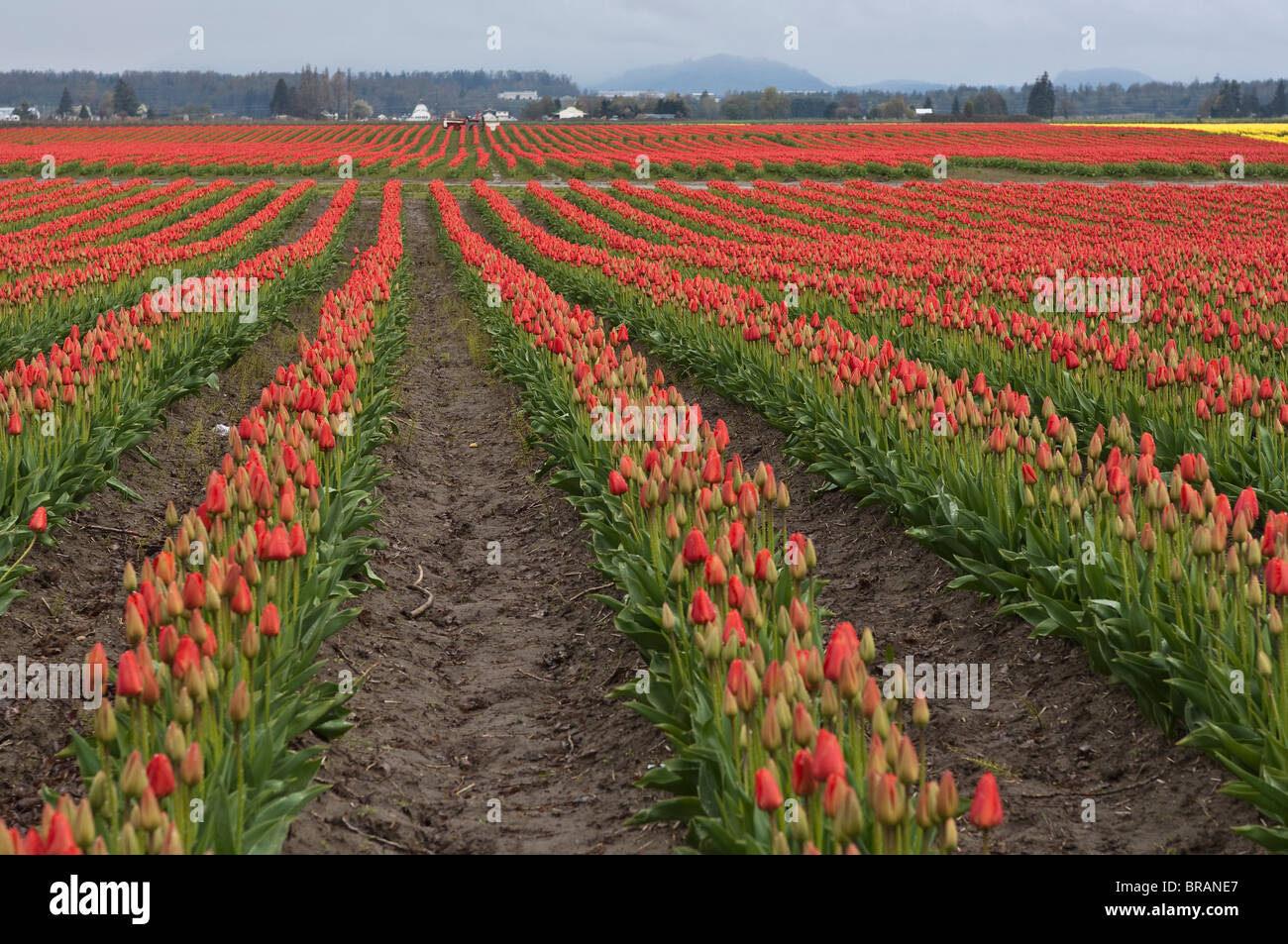 Tulips in the Skagit Valley, Washington State, United States of ...