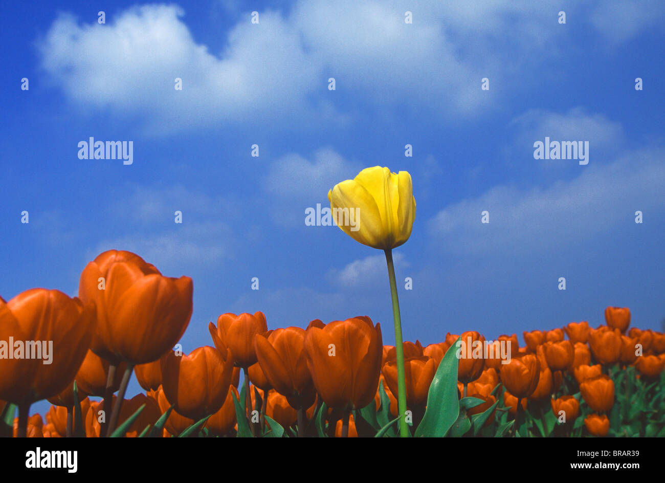 Yellow tulip amongst a sea of red tulips. - Stock Image