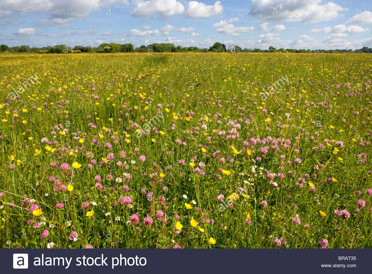 Tranquil field of blooming buttercups - Stock Image