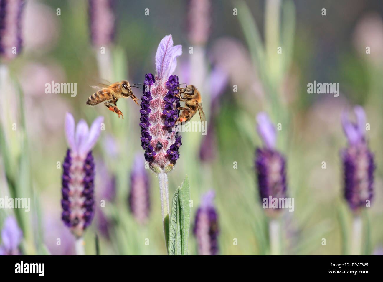 Honey bee. Two European Honey Bees ( Apis mellifera ) on a French lavender flower ( Lavandula stoechas ). Also known - Stock Image