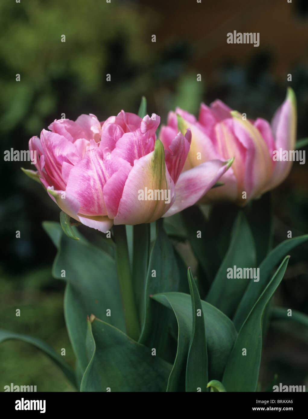 Flowers of Tulip 'Peach Blossom' - Stock Image
