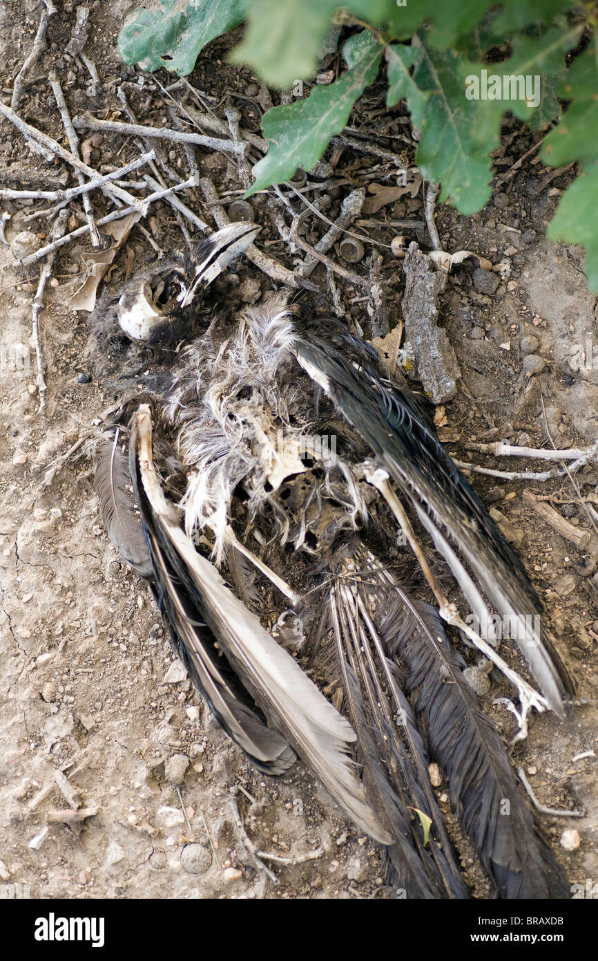 Dead Black-billed Magpie - Cheyenne Mountain State Park - Colorado Springs, Colorado USA - Stock Image