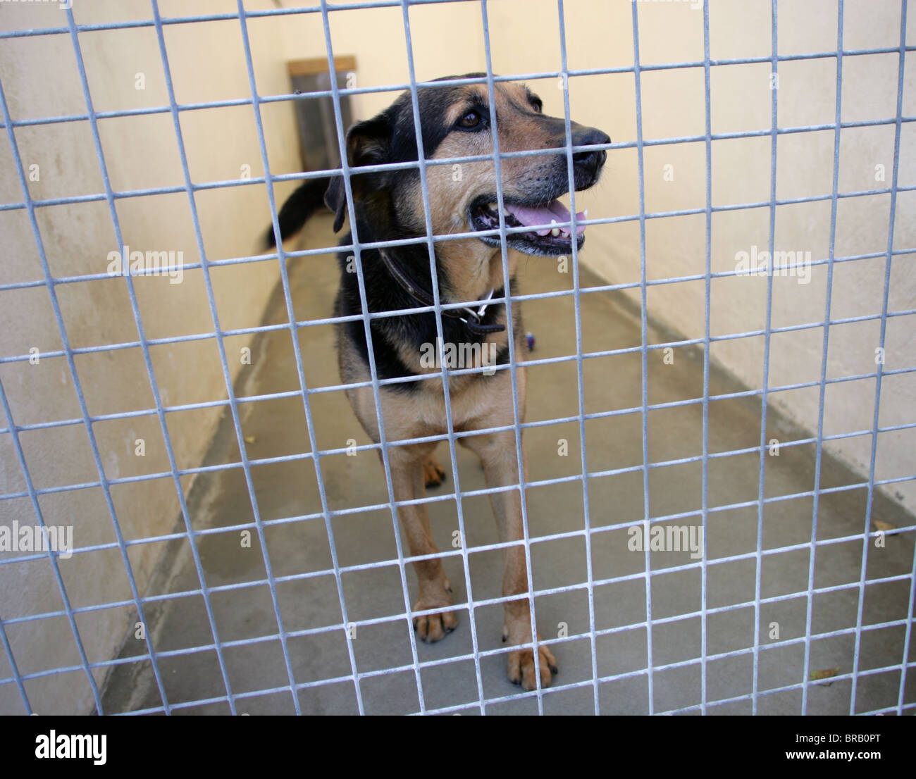 A stray dog at the RSPCA kennels in Great Ayton. UK - Stock Image