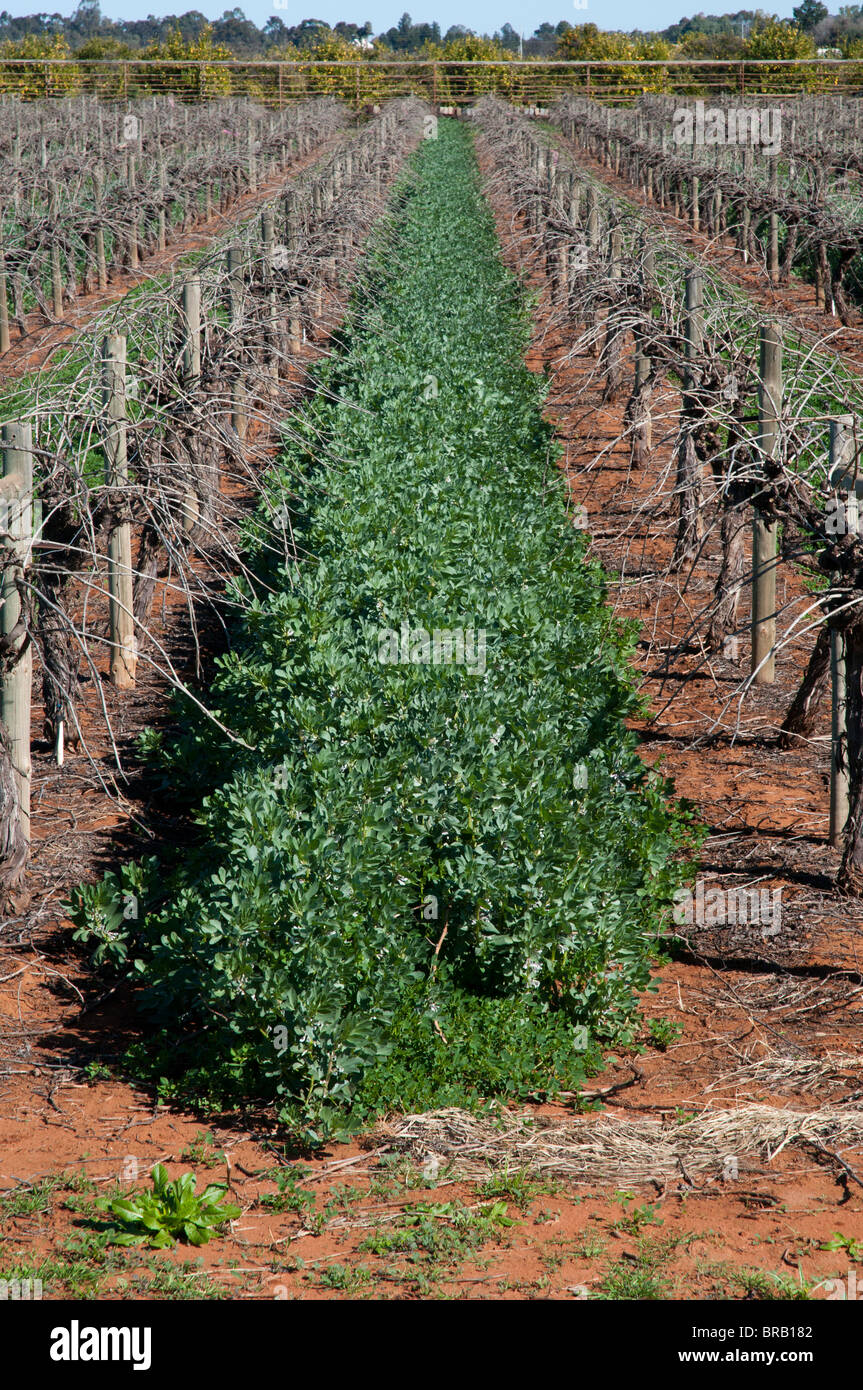 Broad beans grown as a secondary crop and as natural manure crop between grape vine rows near Mildura Stock Photo
