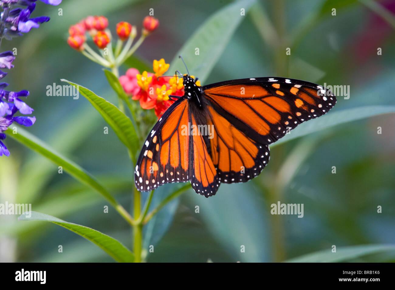 Monarch Butterfly Feeding on Milkweed Flowers - Stock Image