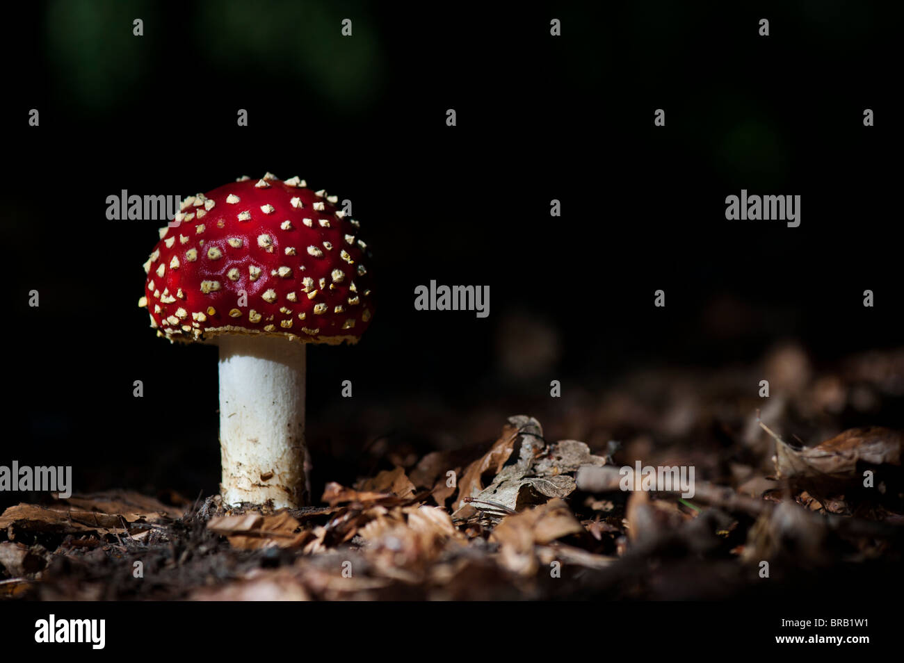 Amanita muscaria, Fly agaric mushroom growing in an english woodland. Stock Photo