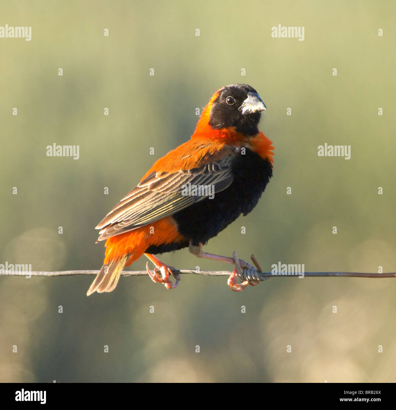 Male Southern Red Bishop Euplectes orix Cederberg Mountains Namaqualand Northern Cape South Africa - Stock Image