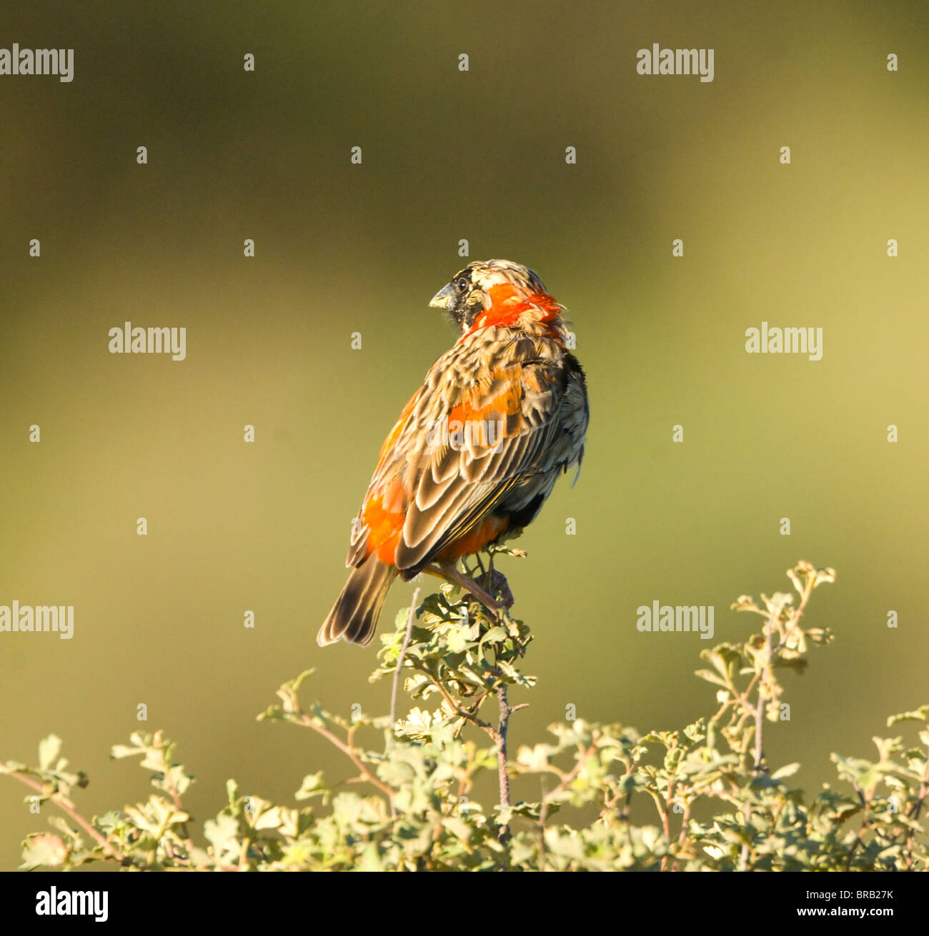 Female Southern Red Bishop Euplectes orix Cederberg Mountains Namaqualand Northern Cape South Africa - Stock Image