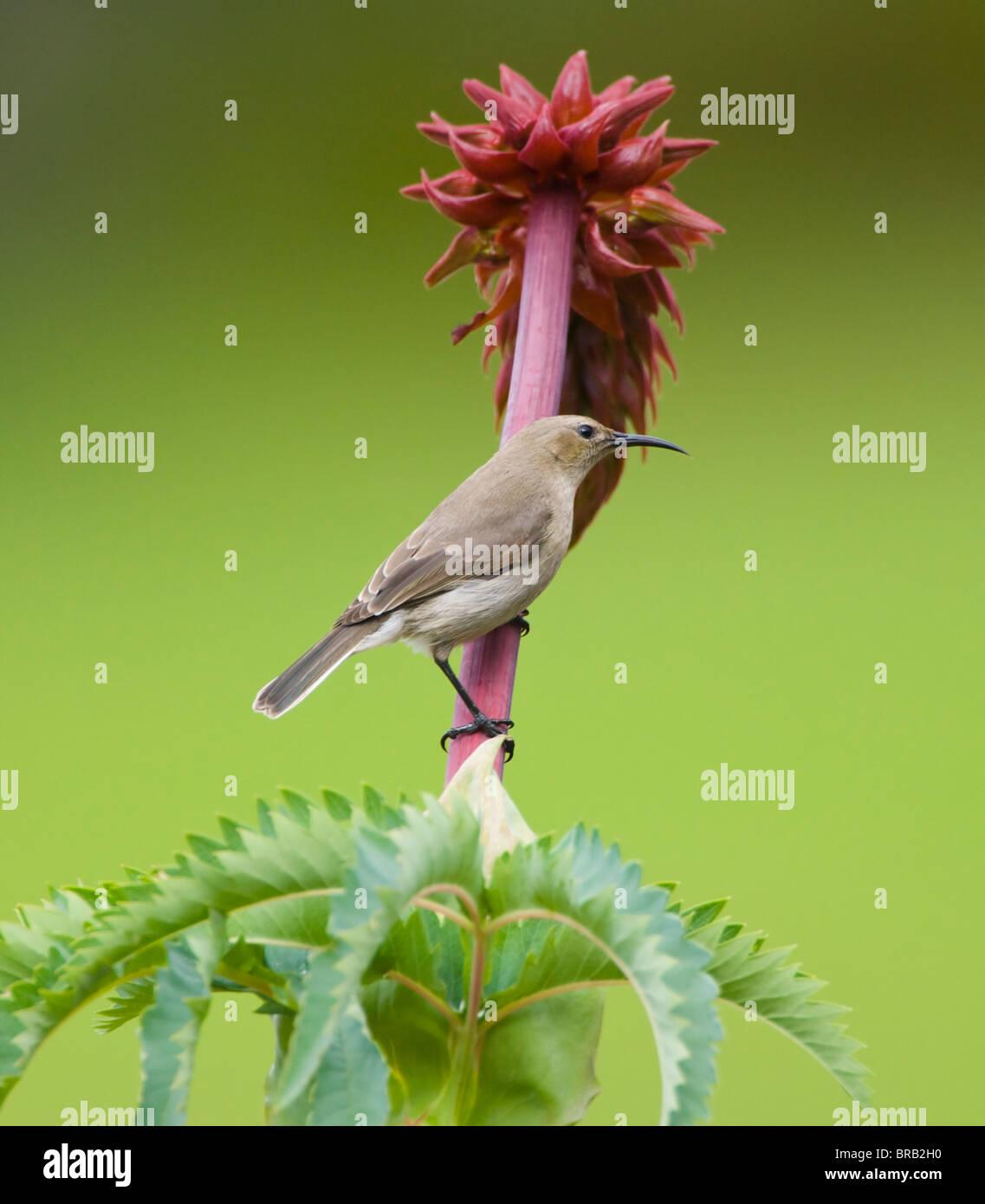 Female Southern Lesser Double-Collared Sunbird Cinnyris chalybeus - Stock Image