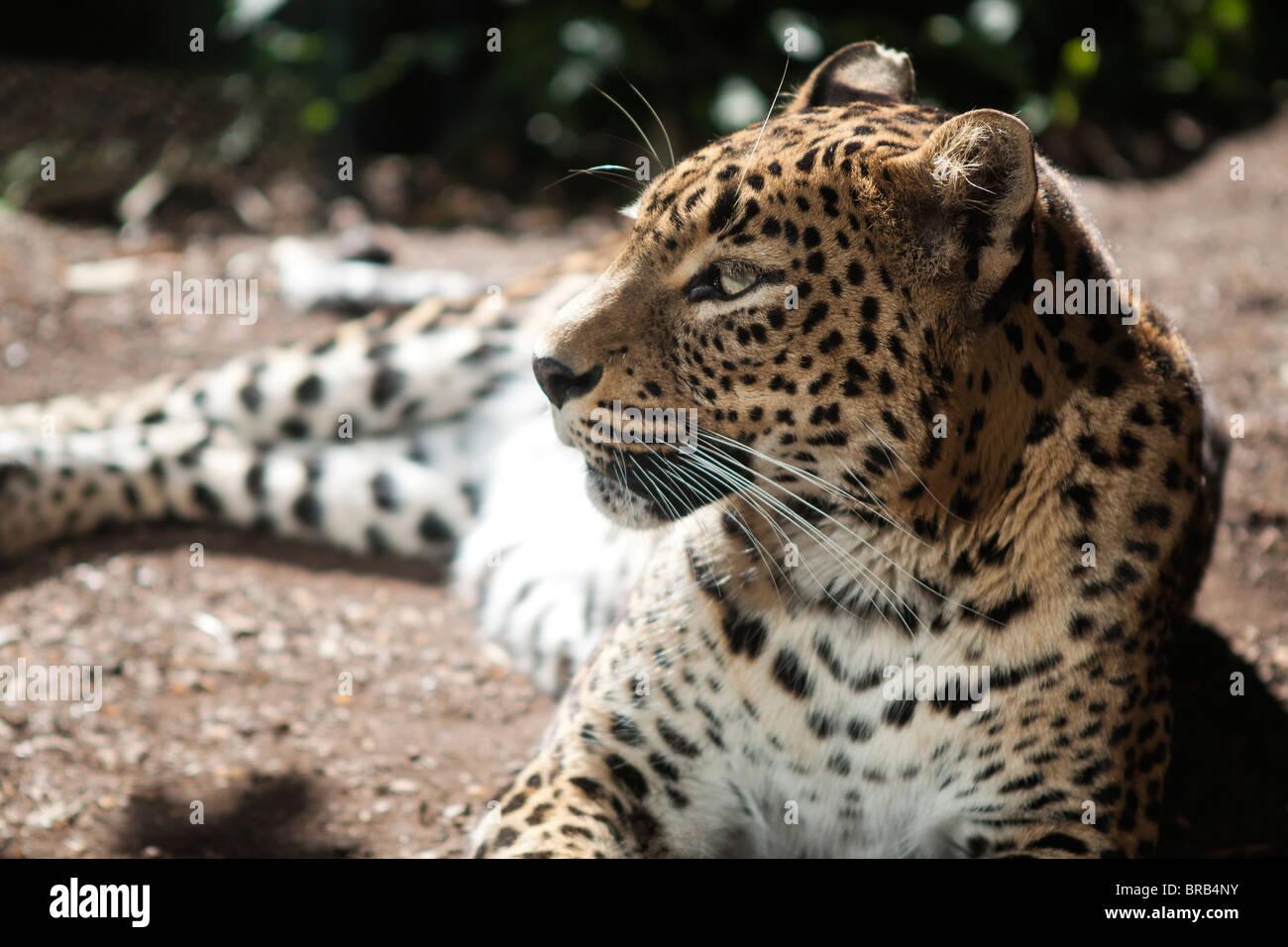 Sri Lankan leopard (Panthera pardus kotiya) - Stock Image