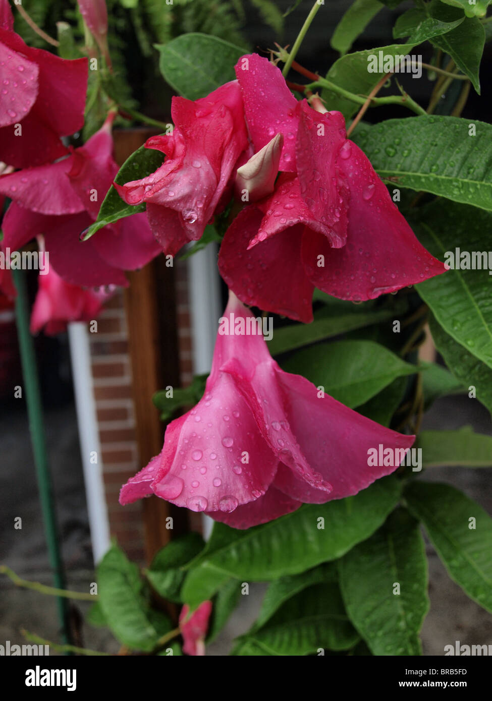 Pink Red Flowers Alice Dupont Mandevilla Climbing Vine Plant