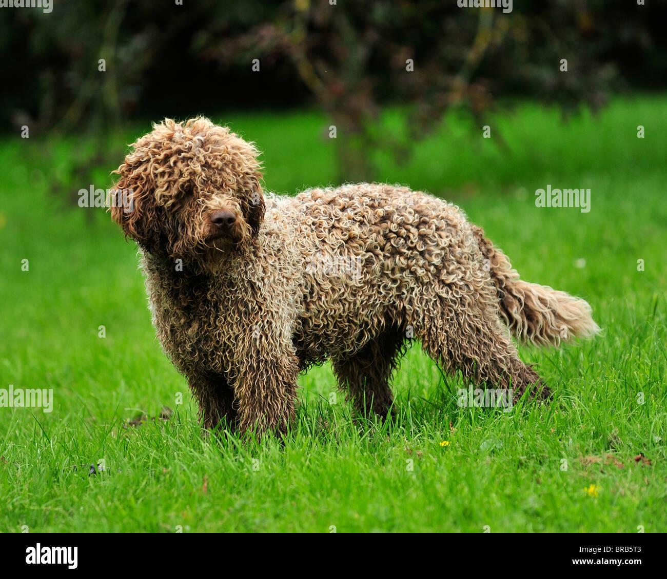 Lagotto Truffle Dogs: Lagotto Romagnolo, Italian Gundog Stock Photo: 31593523