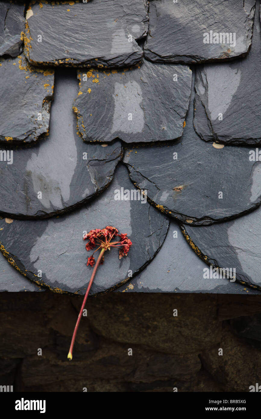 Lone Flower Bloom On A Traditional Wet Slate Roof On A