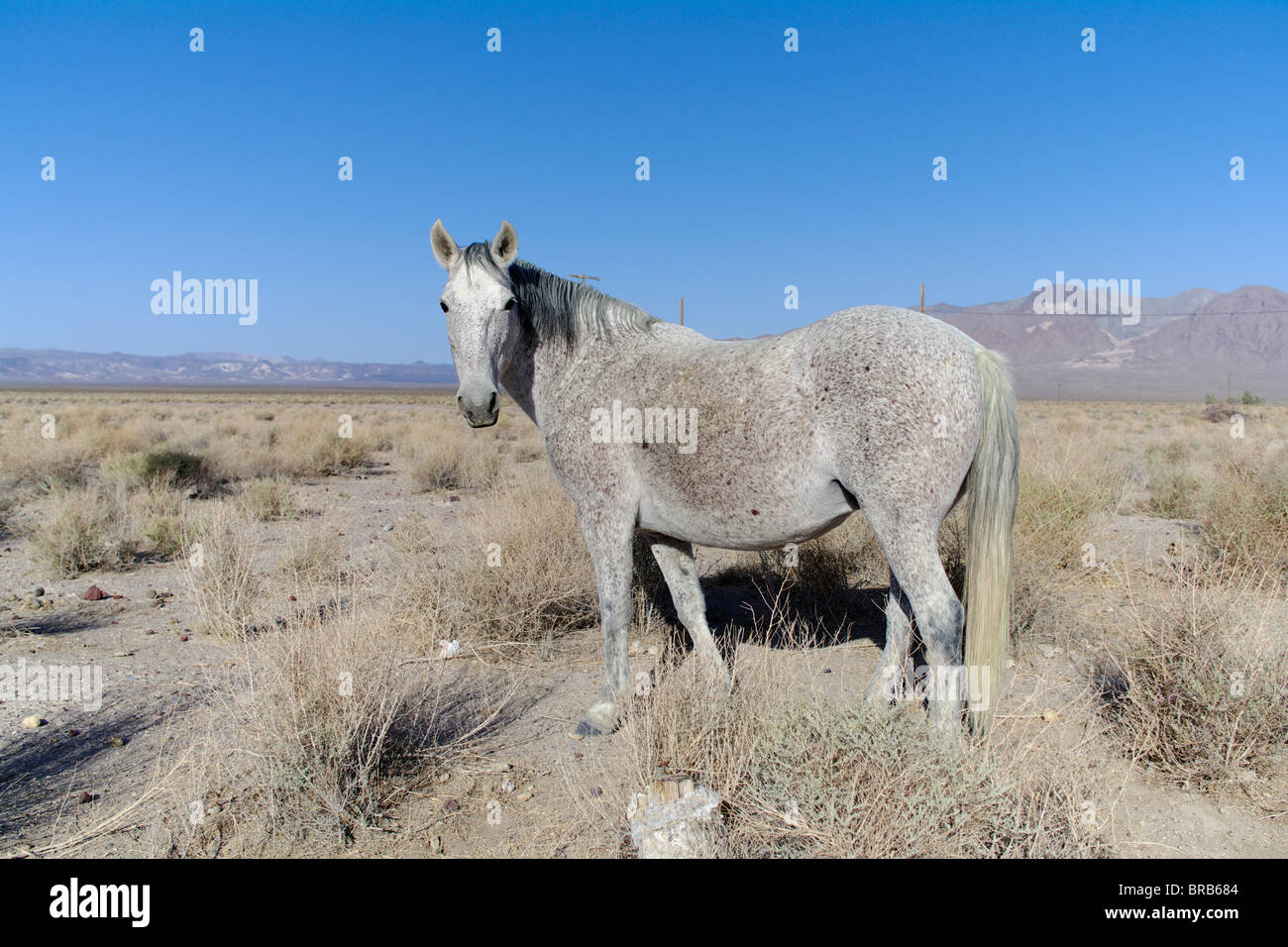 Wild horse near Death Valley Junction in Death Valley National Park, California, USA. - Stock Image