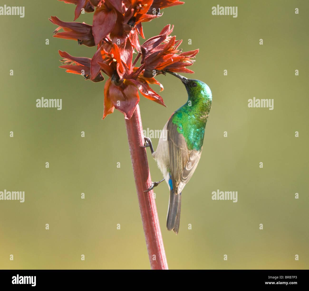 Southern Lesser Double-Collared Sunbird Cinnyris chalybea Cape Town Kirstenbosch Botanical Gardens South Africa - Stock Image