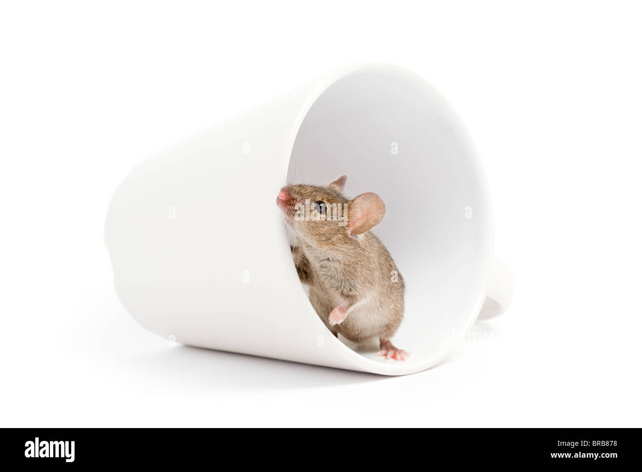 cute grey mouse looking out of a cup isolated on white background - Stock Image