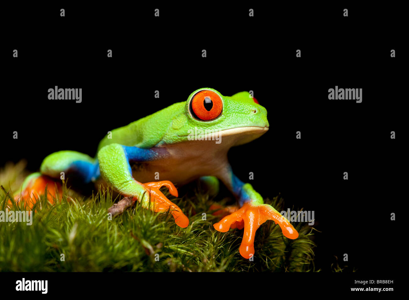red-eyed tree frog closeup on black, sitting on natural moss ready to jump. Agalychnis callidryas. Stock Photo