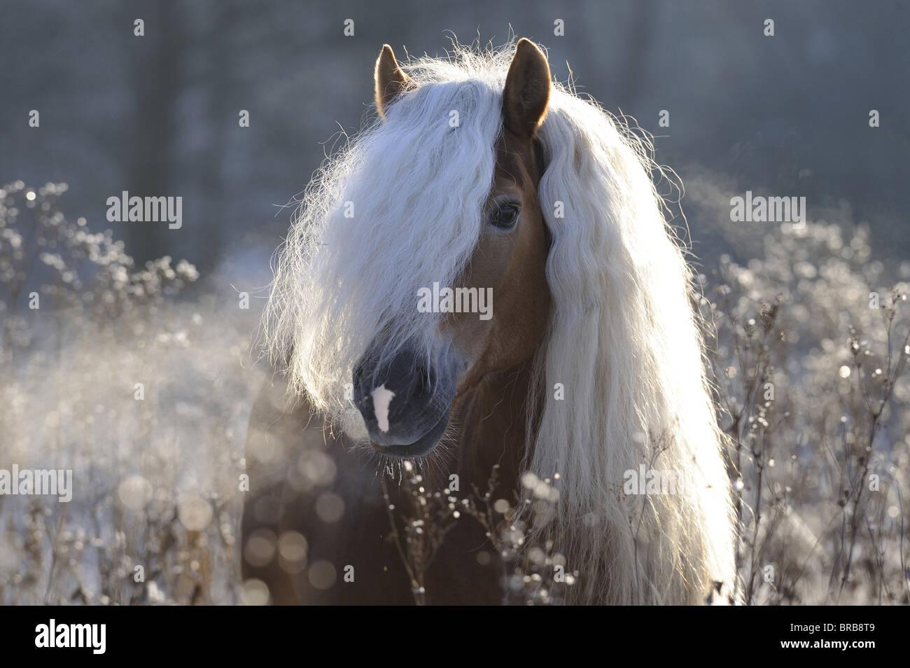 Haflinger Horse (Equus ferus caballus), portrait of a stallion with long mane. Stock Photo
