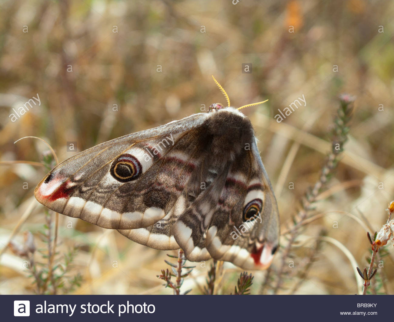 Close up of wings of moth - Stock Image