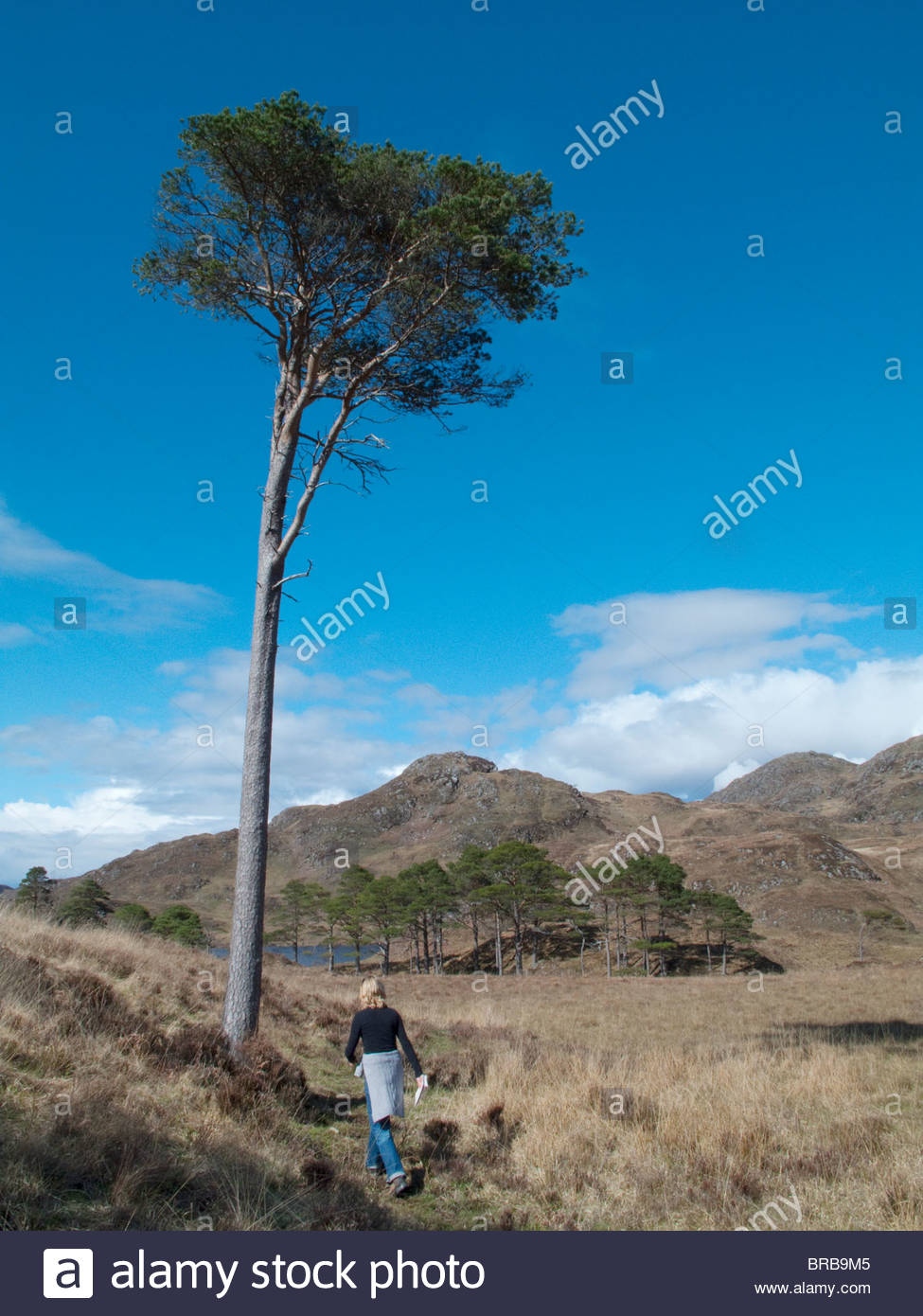 Hiker hiking past tree in remote field under blue sky - Stock Image