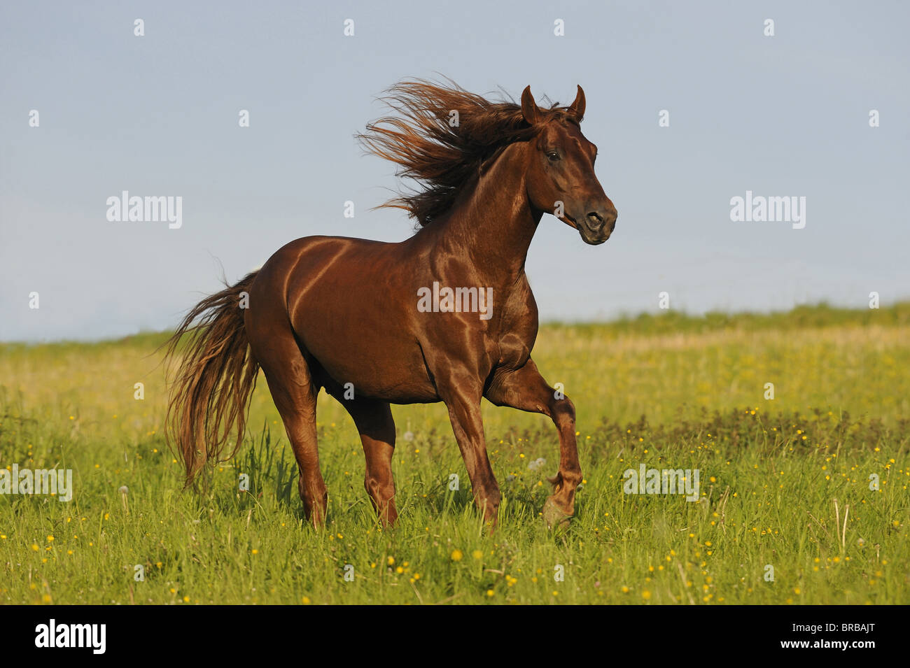 American Saddlebred (Equus ferus caballus), stallion in a gallop on a meadow. - Stock Image