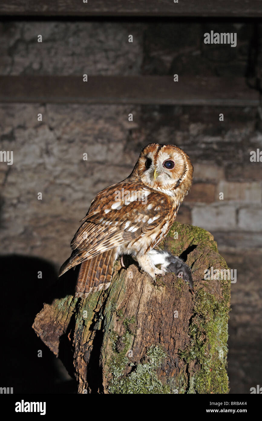 Tawny Owl, Strix aluco with prey - Stock Image