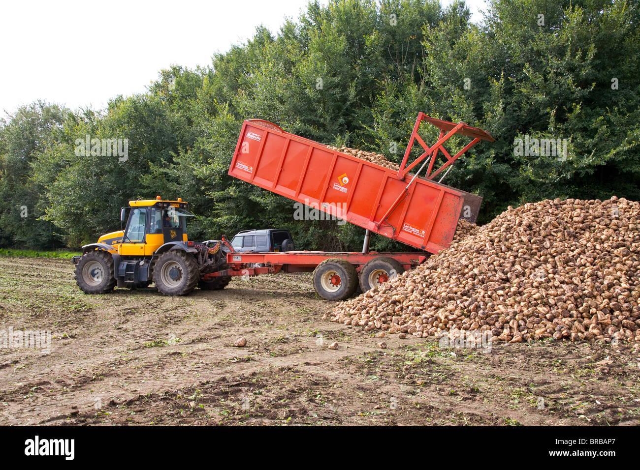 Sugar beet pile - Stock Image