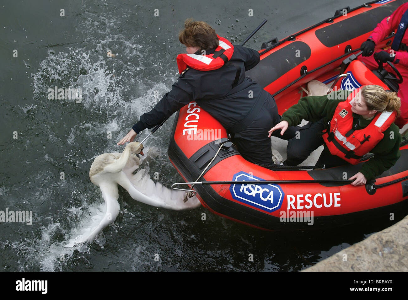 RSPCA officers picking up oiled swans from Plymouth's Sutton Harbour in Devon, UK. - Stock Image