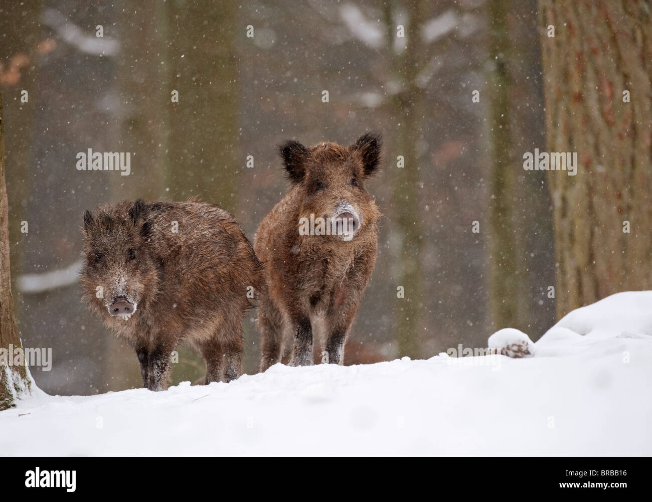 two wild boars in snow / Sus scrofa - Stock Image