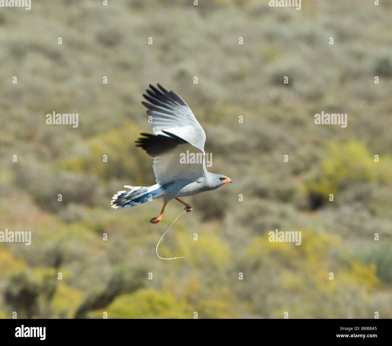 Southern Pale-Chanting Goshawk Melierax canorus with snake - Stock Image